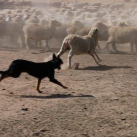 Dog rounding sheep